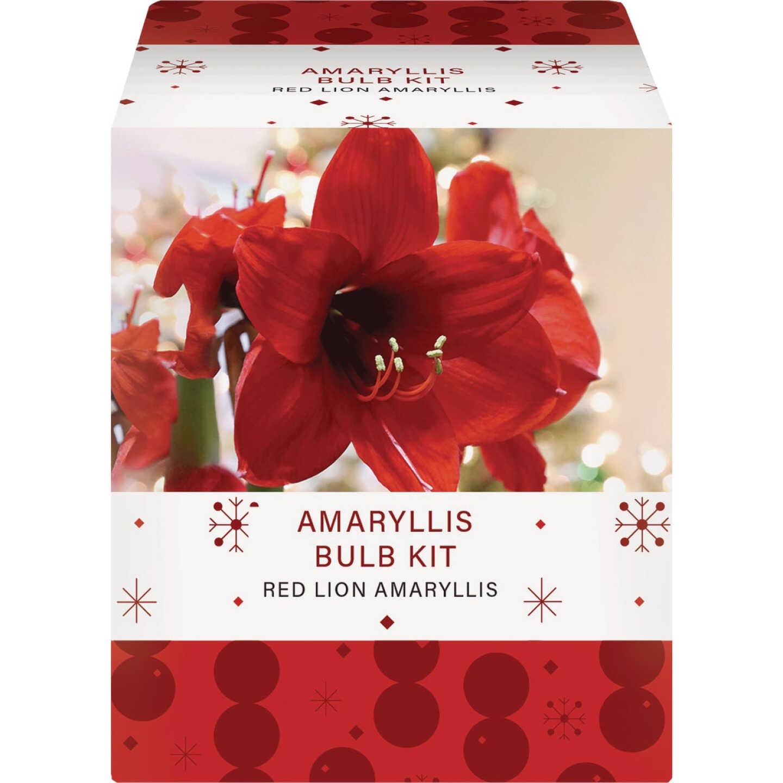 GSB Amaryllis Gift Box Flower Bulb Image 2